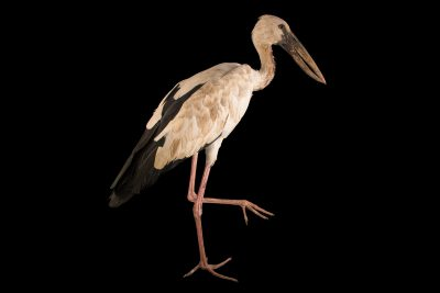 Photo: An Asian openbill stork (Anastomus oscitans) at Phnom Tamao Wildlife Rescue Center - Wildlife Alliance.