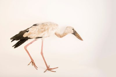 Photo: An Asian openbill stork (Anastomus oscitans) at Phnom Tamao Wildlife Rescue Center - Wildlife Alliance.