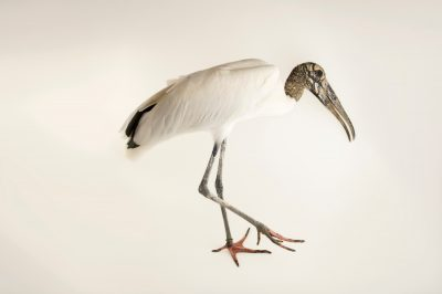 Photo: Wood stork (Mycteria americana) at the National Aviary of Colombia.