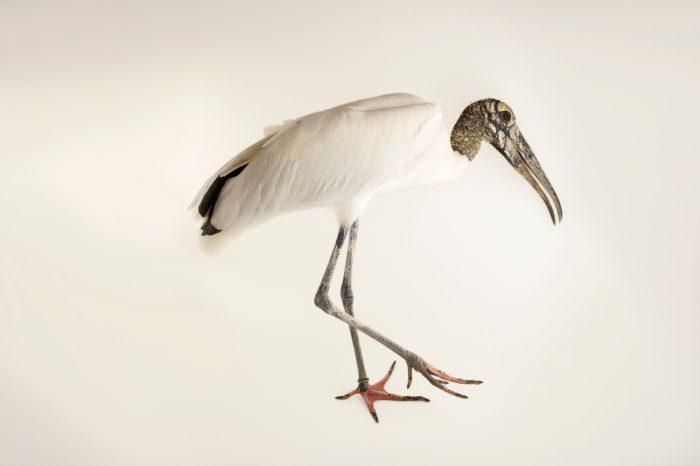 Photo: Wood stork (Mycteria americana) at the National Aviary of Colombia.
