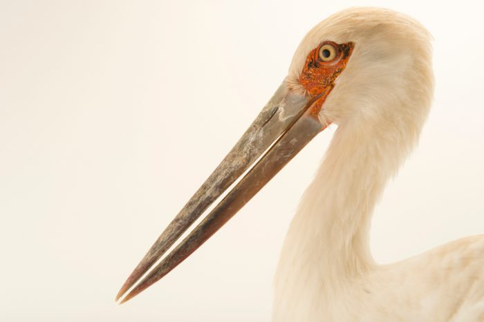 Photo: Maguari stork (Ciconia maguari) at the National Aviary of Colombia.