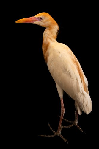 Photo: An Asian cattle egret (Bubulcus ibis coromandus) at Taman Mini Indonesia Indah.