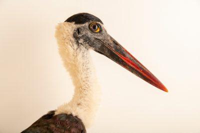 Photo: A Javan woolly-necked stork (Ciconia episcopus neglectus) at Taman Mini Indonesia Indah.