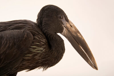 Photo: A female African openbill stork (Anastomus lamelligerus) at Tierpark Berlin.