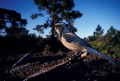 Photo: The threatened Florida scrub-jay, shown at Oscar Scherer State Park in FL.