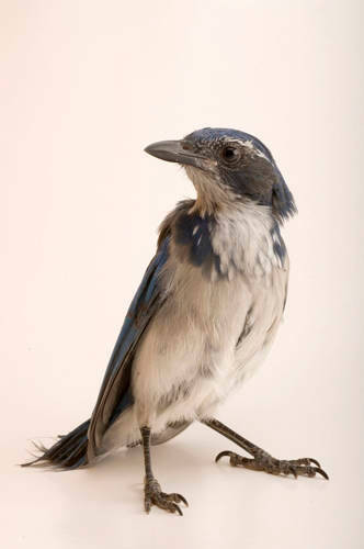A western scrub jay (Aphelocoma californica) at Wildlife Images, a rehabilitation center near Merlin, OR.