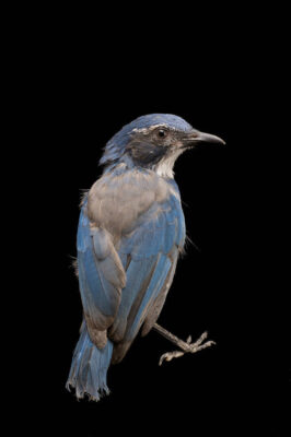 A California scrub jay (Aphelocoma californica californica) at Wildlife Images, a rehabilitation center near Merlin, OR.