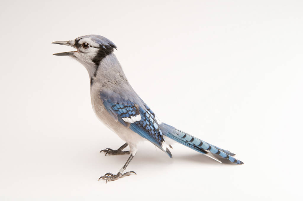 A blue jay (Cyanocitta cristata) at the School of Biological Sciences at the University of Nebraska-Lincoln.