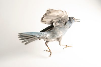 Vulnerable Pinyon jay (Gymnorhinus cyanocephalus) at the University of Nebraska-Lincoln. This and other corvid species are studied to learn how cognition evolved, how animals use cognitive abilities to solve problems in nature and how cognitive abilities can affect the evolutionary process.