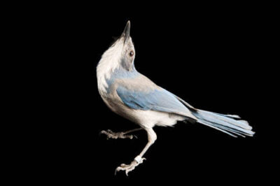 Western scrub-jay (Aphelocoma californica) at the University of Nebraska-Lincoln. This and other corvid species are studied to learn how cognition evolved, how animals use cognitive abilities to solve problems in nature and how cognitive abilities can affect the evolutionary process.