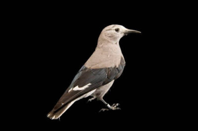 A Clark's nutcracker (Nucifraga columbiana) at the University of Nebraska-Lincoln.