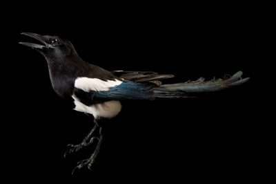 Picture of an American magpie (Pica hudsonia) at The Wildlife Center in Espanola, New Mexico.