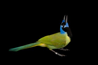 Picture of a green jay (Cyanocorax yncas) at the Houston Zoo.