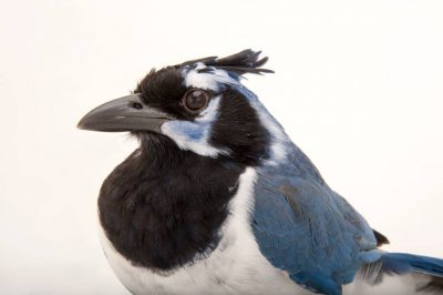 A black-throated magpie-jay (Calocitta colliei) at the Houston Zoo. This bird, Susie, is hand reared and has tons of personality. She particularly likes to attack keepers ears.