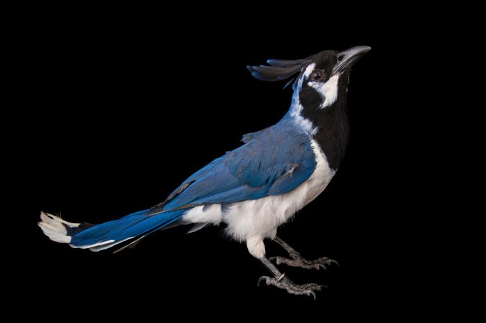 A black-throated magpie-jay (Calocitta colliei) from the Gladys Porter Zoo in Brownsville, Texas.