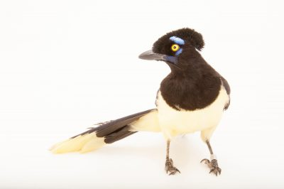 A plush-crested jay (Cyanocorax chrysops) at the Houston Zoo.