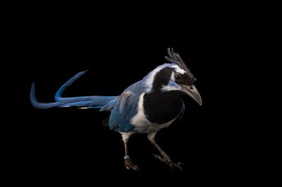 A black-throated magpie-jay (Calocitta colliei) at the Houston Zoo.