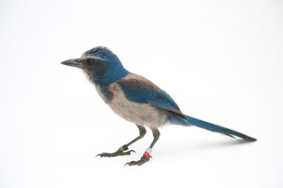 Picture of a vulnerable (IUCN) and federally threatened Florida scrub jay (Aphelocoma coerulescens).