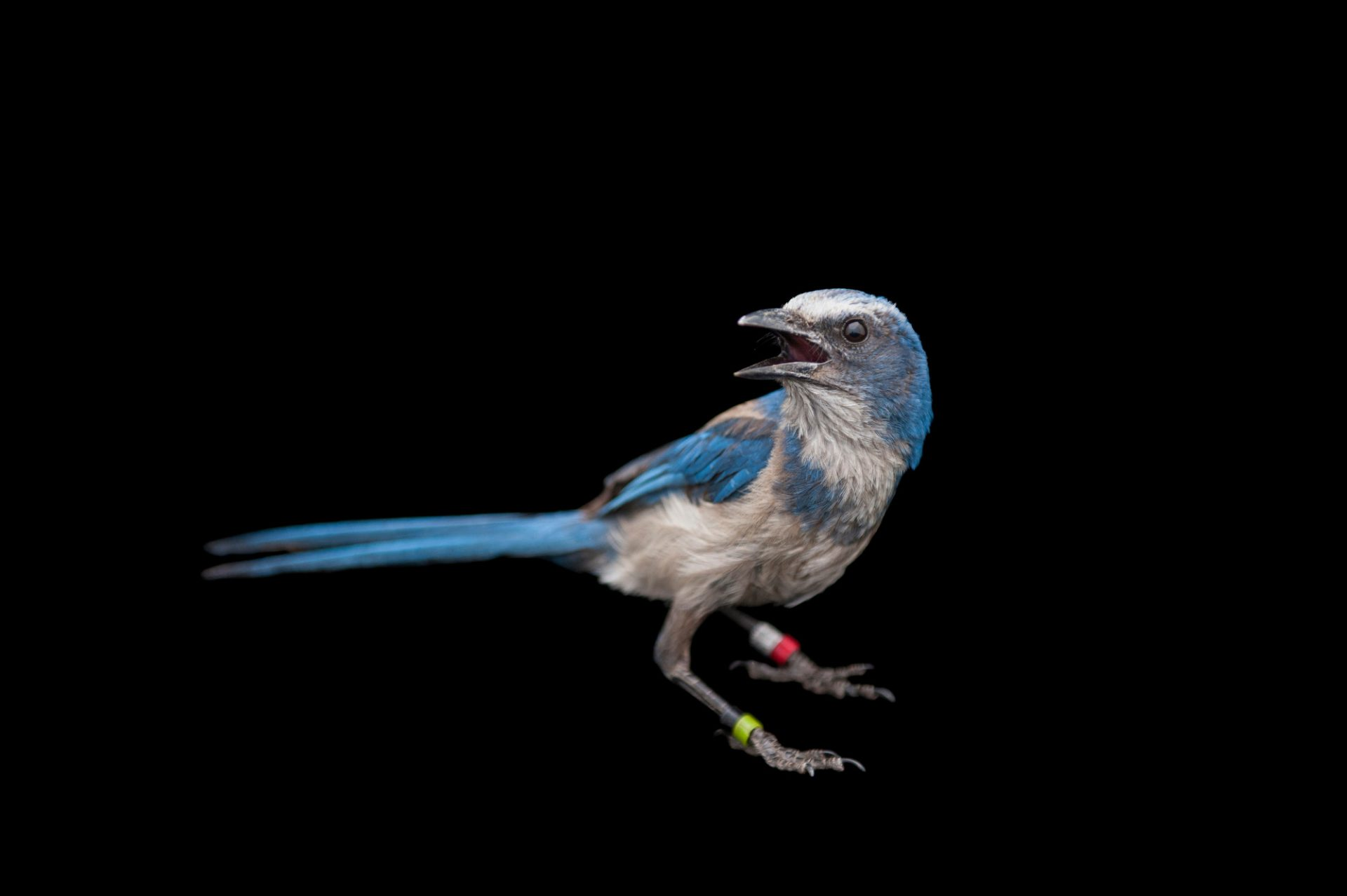 Picture of a vulnerable (ICUN) and federally threatened Florida scrub jay (Aphelocoma coerulescens).
