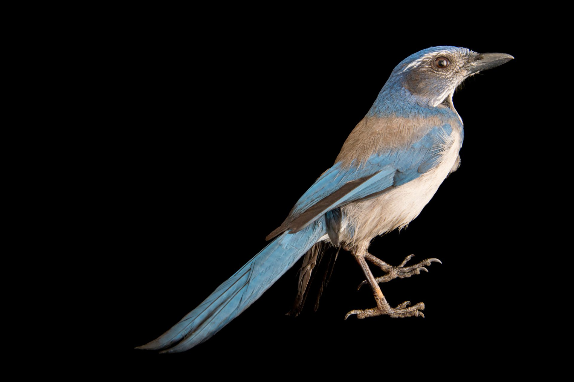 Picture of a vulnerable (IUCN) and federally threatened Florida scrub-jay (Aphelocoma coerulescens) at Tracy Aviary.