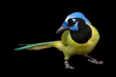 Photo: A green jay (Cyanocorax yncas) at the Houston Zoo.