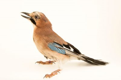 Photo: An Eurasian Jay (Garrulus glandarius glandarius) from a private collection in Choussy, France.