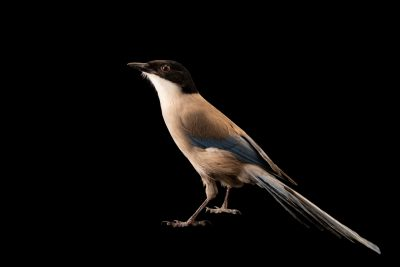 Photo: An Azure-winged magpie (Cyanopica cyanus cookii) at Parque Biologico.