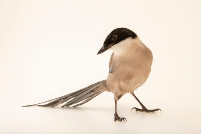 An Azure-winged magpie (Cyanopica cookii) at Parque Biologico.