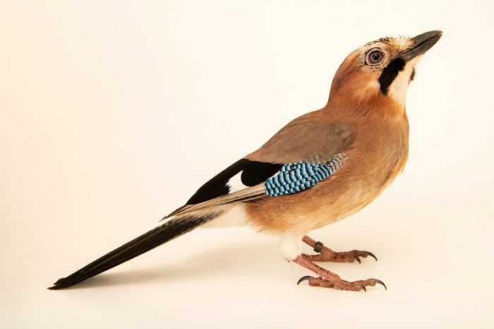 Photo: An Eurasian jay (Garrulus glandarius fasciatus) at Parque Biologico.