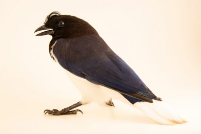 Photo: A curl-crested jay (Cyanocorax cristatellus) at the Membeca Lagos Farm, near Rio de Janeiro, Brazil.