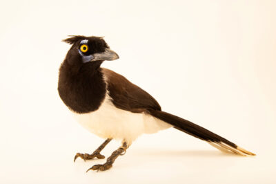 Photo: A white-naped jay (Cyanocorax cyanopogon) at BioParque do Rio.