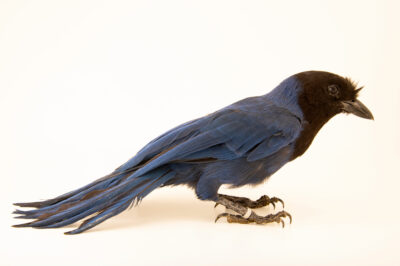 Photo: An azure jay (Cyanocorax coeruleus) at BioParque do Rio.