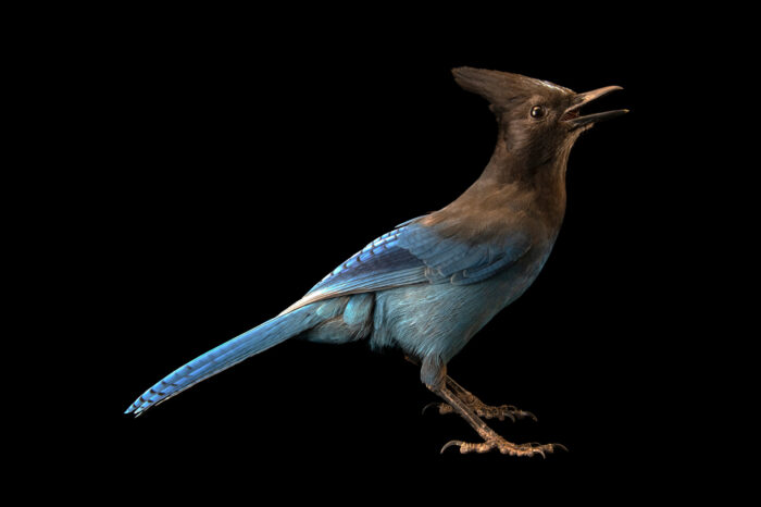 Photo: A Steller's jay (Cyanocitta stelleri frontalis) at the Big Bear Alpine Zoo. This bird's name is Indigo.
