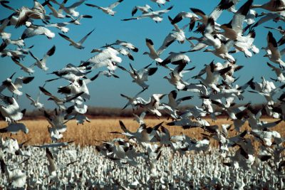 Photo: Snow geese at Bosque del Apache NWR in New Mexico.