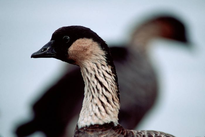 The Nene goose, (Branta sandvicensis), a Hawaiian vulnerable (IUCN) and federally endangered species.