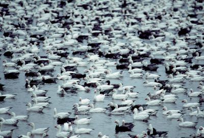 Photo: Snow geese at J. Clark Salyer NWR in North Dakota.