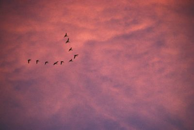 Photo: Snow geese in flight over Bosque del Apache NWR, New Mexico.