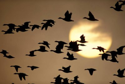 Photo: Snow geese in flight at Bosque del Apache NWR in New Mexico.