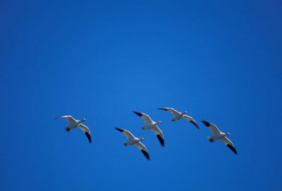 Photo: Geese in flight over Lower Klamath NWR on the California-Oregon border.