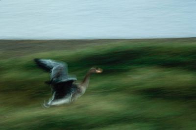 Photo: A white-fronted goose runs to freedom after being leg-banded by biologists.