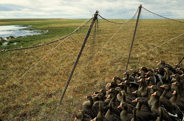 Photo: Biologists gather white-fronted geese to band and test for the avian flu in Alaska's North Slope near Teshukpuk Lake.