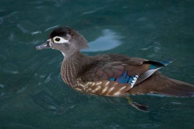 A hen wood duck (Aix sponsa) at the Houston Zoo.