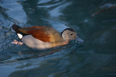 Picture of a ringed teal (Callonetta leucophrys) at the Houston Zoo.