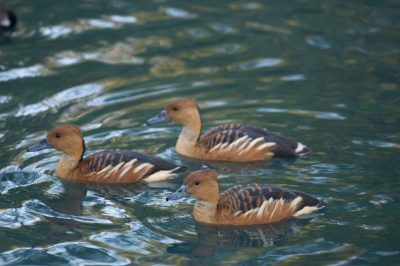 Fulvous whistling ducks (Dendrocygna bicolor) at the Houston Zoo.