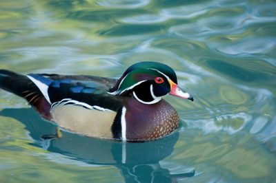 A male wood duck (Aix sponsa) at the Houston Zoo.