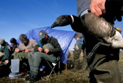 Photo: Biologists band black brandt and check for avian flu on Alaska's North Slope.