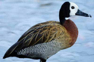 Photo: White faced whistling duck at the Sedgwick County Zoo.