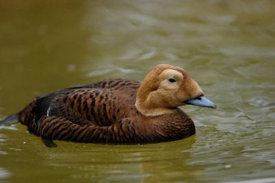 Picture of a federally threatened female spectacled eider duck (Somateria fischeri) at the Great Plains Zoo, Sioux Falls, South Dakota.