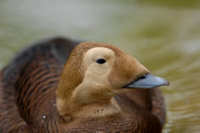Picture of a federally threatened, female spectacled eider duck (Somateria fischeri) at the Great Plains Zoo, Sioux Falls, South Dakota.