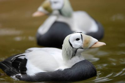 Picture of a federally threatened, male spectacled eider duck (Somateria fischeri) at the Great plains Zoo, Sioux Falls, South Dakota.